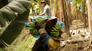 Pilzerkrankung bedroht weltweite Bananenproduktion